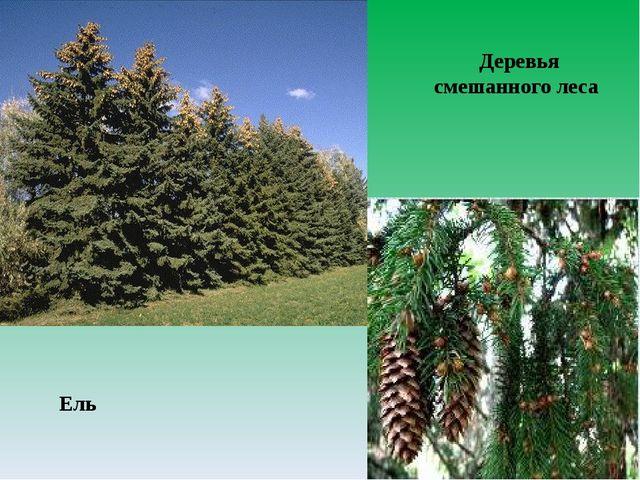 Ель Деревья смешанного леса