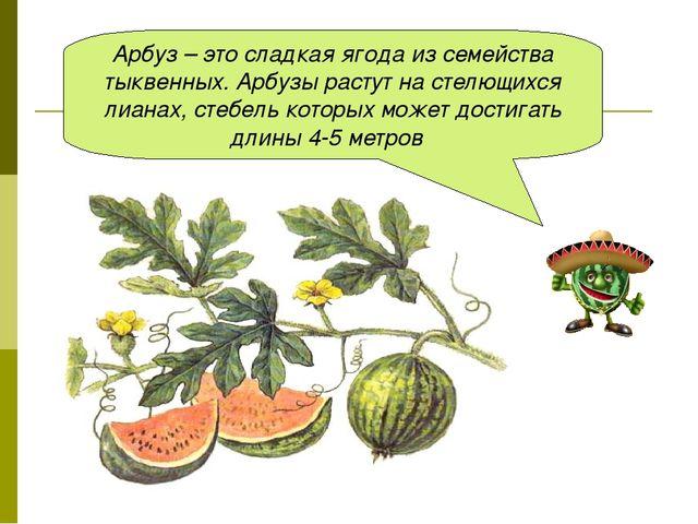 Арбуз – это сладкая ягода из семейства тыквенных. Арбузы растут на стелющихся...