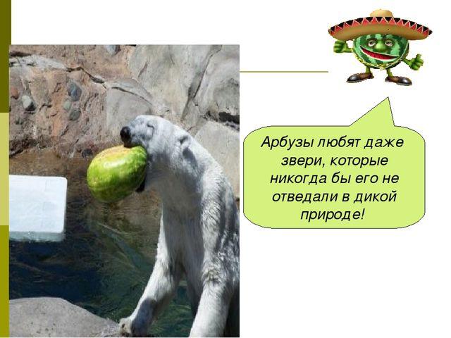 Арбузы любят даже звери, которые никогда бы его не отведали в дикой природе!