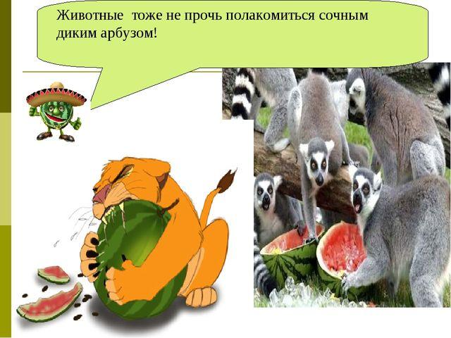 Животные тоже не прочь полакомиться сочным диким арбузом!