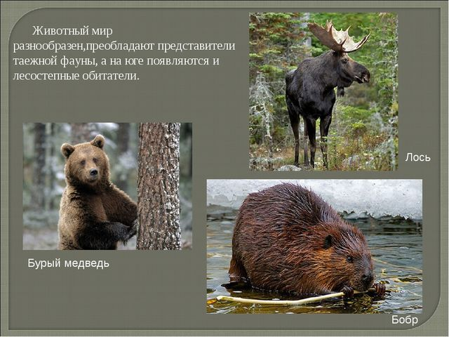 Животный мир разнообразен,преобладают представители таежной фауны, а на юге...
