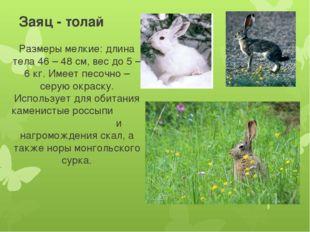 Заяц - толай Размеры мелкие: длина тела 46 – 48 см, вес до 5 – 6 кг. Имеет пе