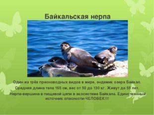Байкальская нерпа (Байкальский тюлень) Один из трёх пресноводных видов в мир