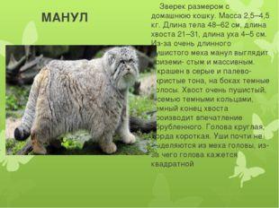 МАНУЛ Зверек размером с домашнюю кошку. Масса 2,5–4,5 кг. Длина тела 48–62 с