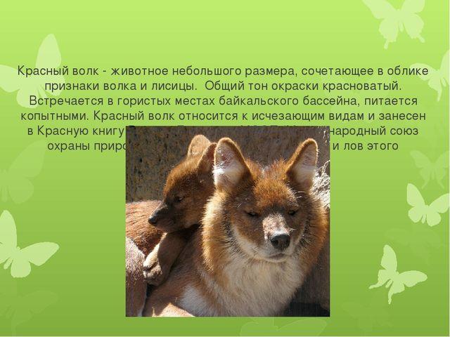 Красный волк - животное небольшого размера, сочетающее в облике признаки вол...