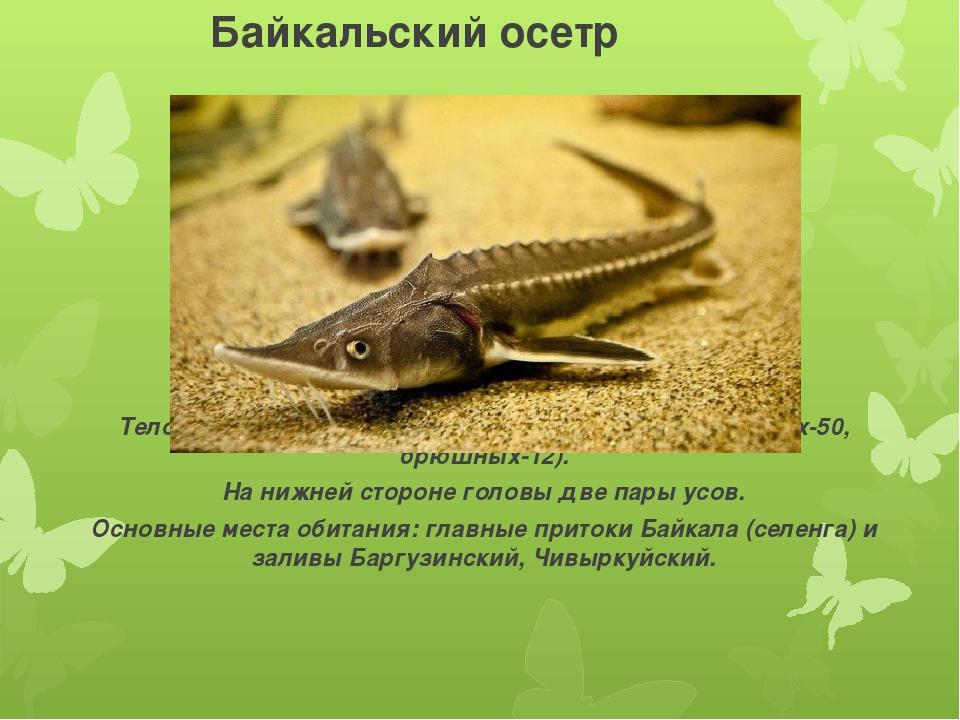 Байкальский осетр Тело покрыто костяными жучками (спинных-15, боковых-50, бр...