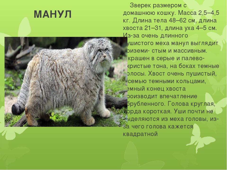 МАНУЛ Зверек размером с домашнюю кошку. Масса 2,5–4,5 кг. Длина тела 48–62 с...
