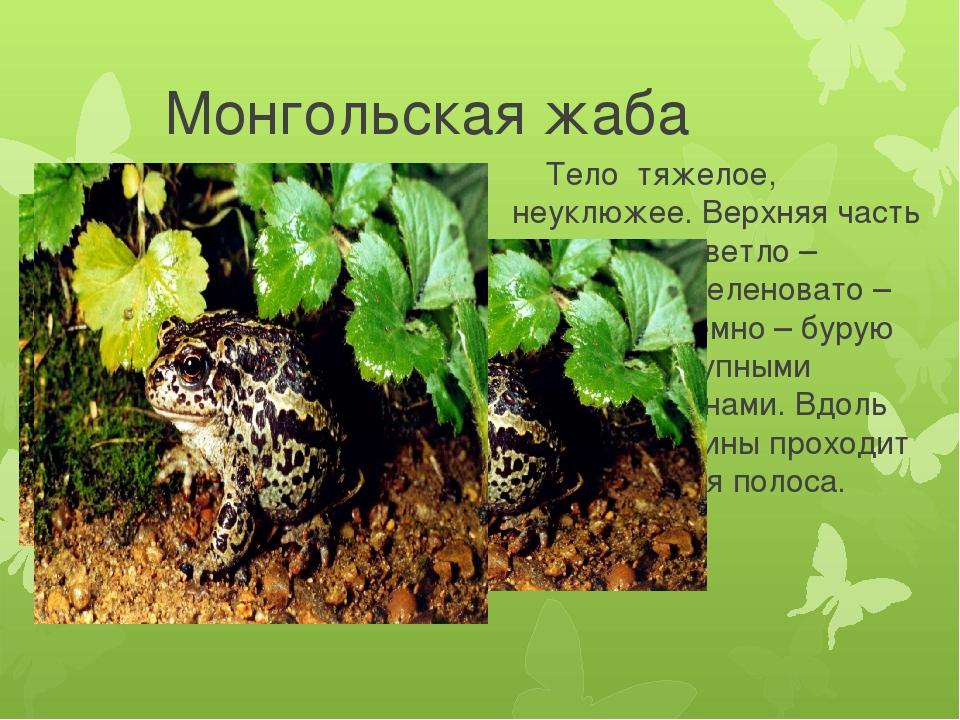 Монгольская жаба Тело тяжелое, неуклюжее. Верхняя часть тела имеет светло –...