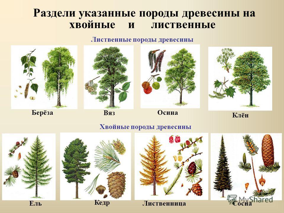 породы деревьев фото с названиями