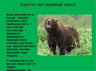 Коротко про ведмедя гризлі Вони трапляються в Канаді . Тварини досягають ваги