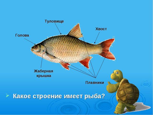 Какое строение имеет рыба? Голова Жаберная крышка Хвост Плавники Туловище
