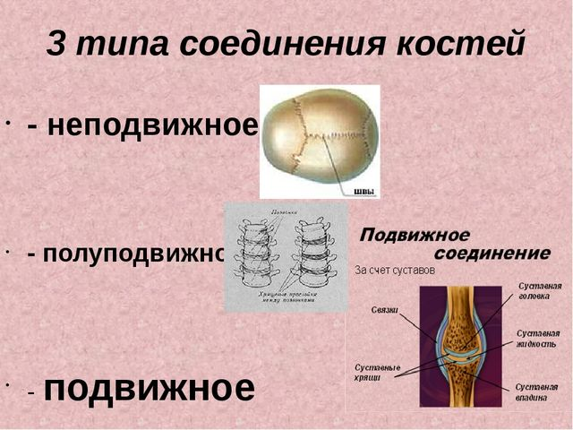 3 типа соединения костей - неподвижное - полуподвижное; - подвижное