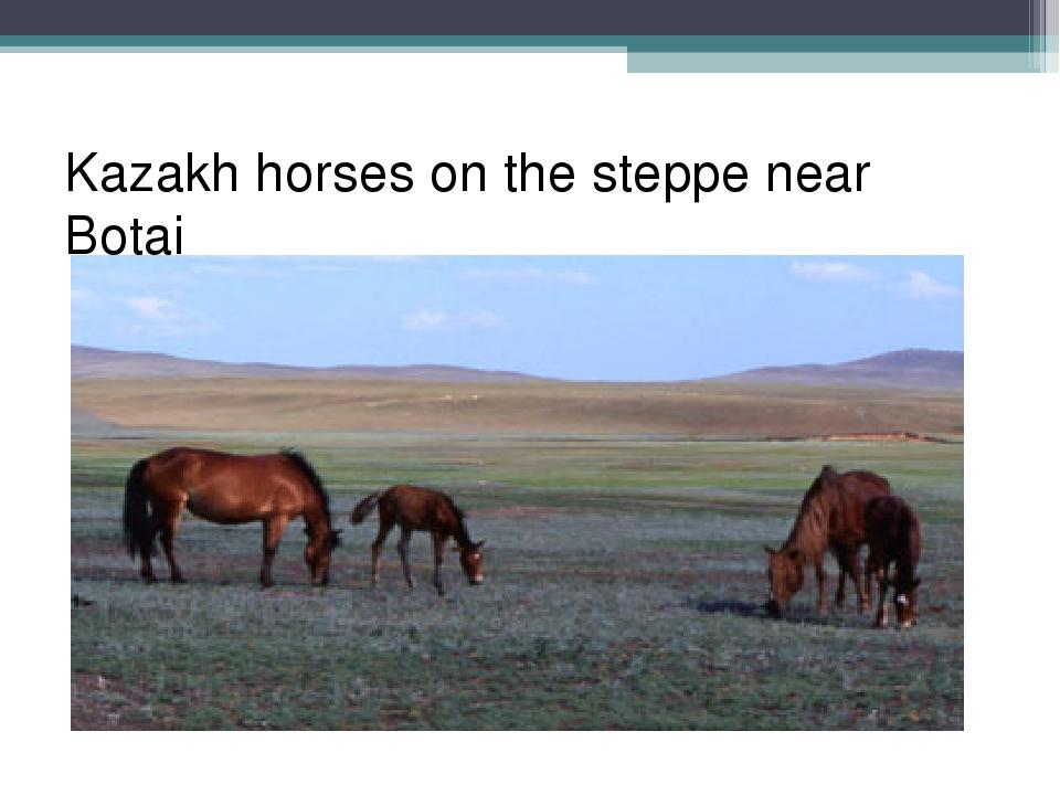 Kazakh horses on the steppe near Botai