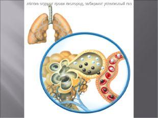 лёгкие отдают крови кислород, забирают углекислый газ