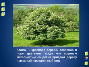 Каштан - красивое дерево, особенно в пору цветения, когда его крупные метель