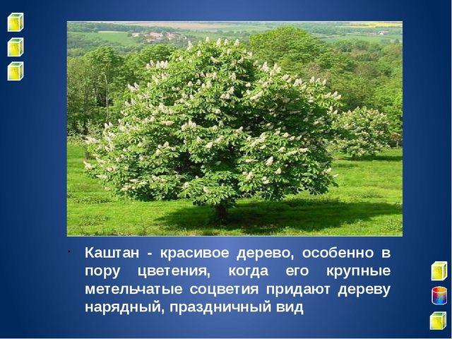 Каштан - красивое дерево, особенно в пору цветения, когда его крупные метель...