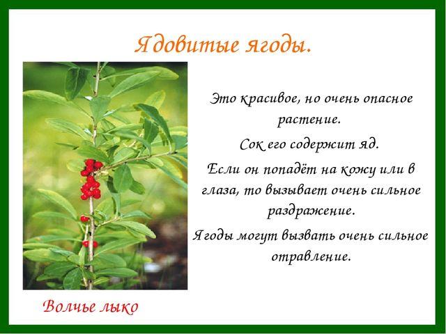 Ядовитые ягоды. Это красивое, но очень опасное растение. Сок его содержит я...