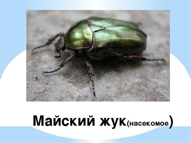 Майский жук(насекомое)