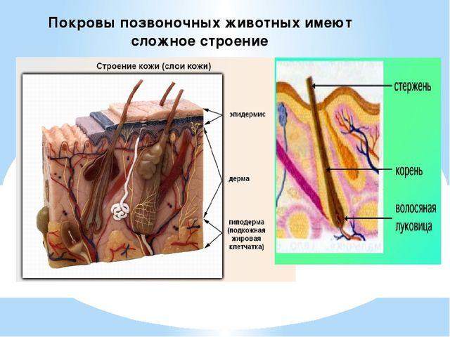 Покровы позвоночных животных имеют сложное строение