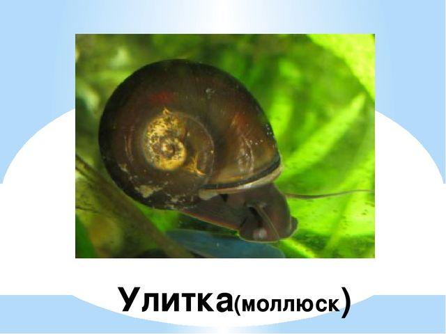 Улитка(моллюск)