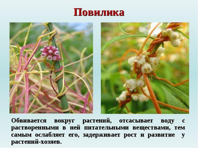 Повилика Обвивается вокруг растений, отсасывает воду с растворенными в ней пи...