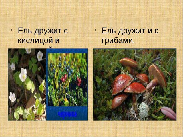 Ель дружит с кислицой и черникой. Ель дружит и с грибами.
