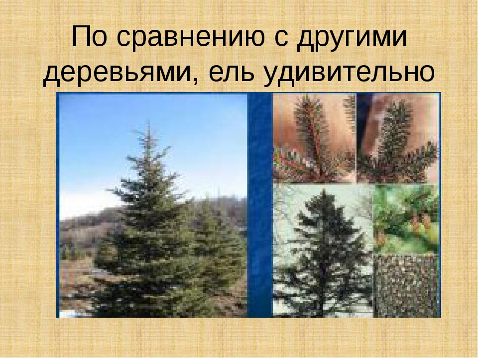 По сравнению с другими деревьями, ель удивительно стройна.