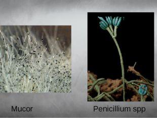 Mucor Penicillium spp