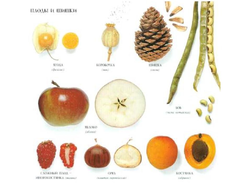 картинки плодов растений с названиями кунге