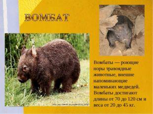 Вомбаты— роющие норы травоядные животные, внешне напоминающие маленьких медв