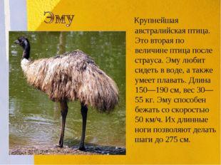 Крупнейшая австралийская птица. Это вторая по величине птица после страуса.