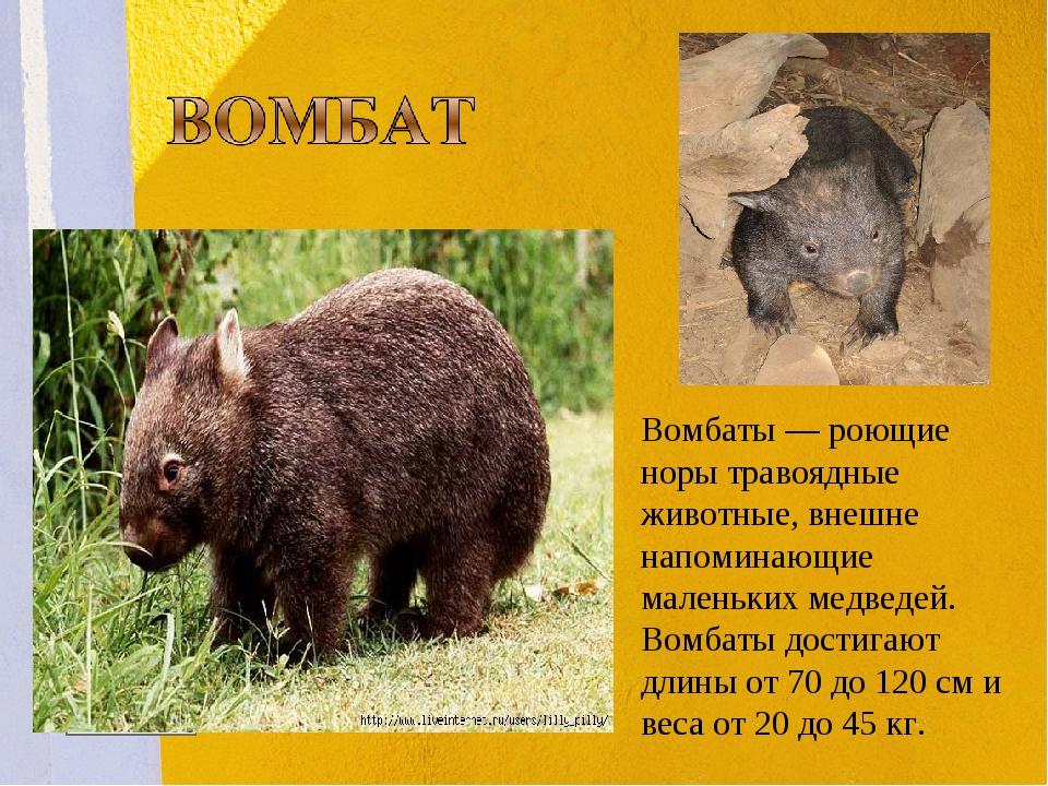 Вомбаты— роющие норы травоядные животные, внешне напоминающие маленьких медв...