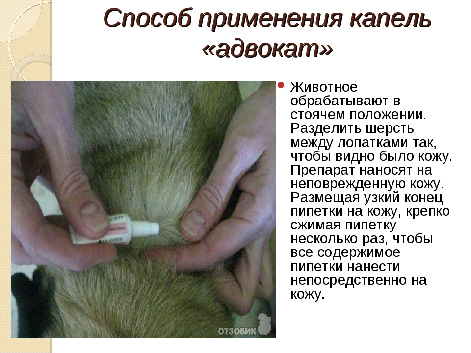 Способ применения капель «адвокат» Животное обрабатывают в стоячем положении....