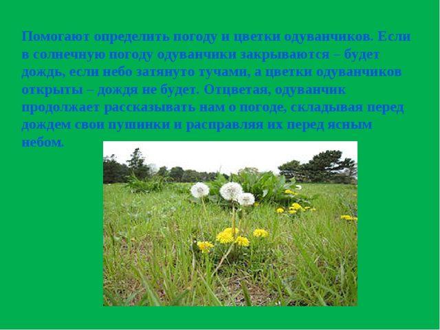 Помогают определить погоду и цветки одуванчиков. Если в солнечную погоду одув...
