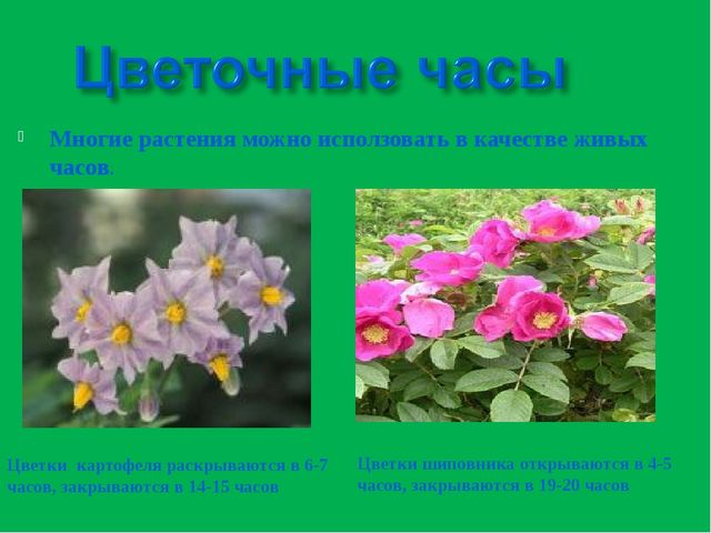 Многие растения можно исползовать в качестве живых часов. Цветки картофеля ра...