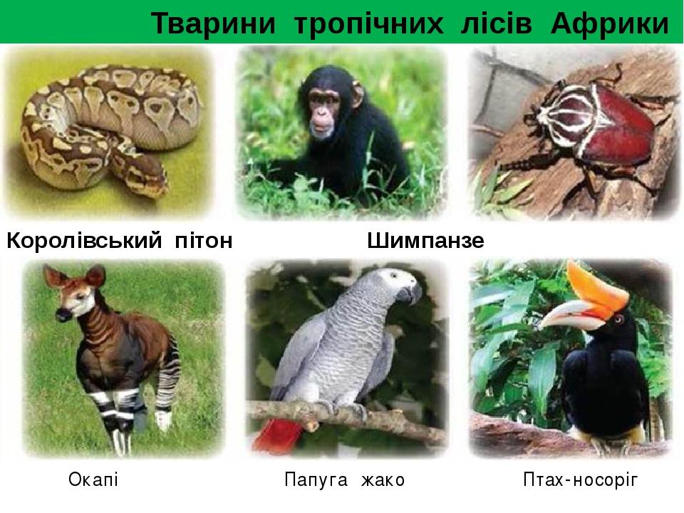 Тварини тропічних лісів Африки Королівський пітон Шимпанз...