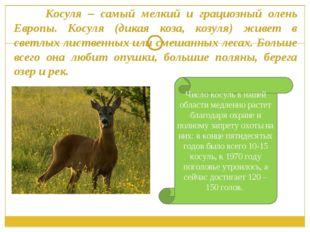 Косуля – самый мелкий и грациозный олень Европы. Косуля (дикая коза, козуля)