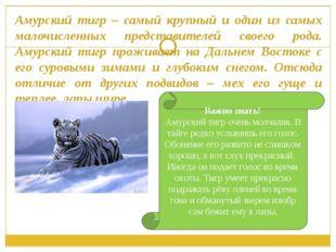 Амурский тигр – самый крупный и один из самых малочисленных представителей св