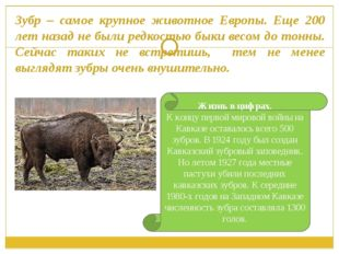 Зубр – самое крупное животное Европы. Еще 200 лет назад не были редкостью бык