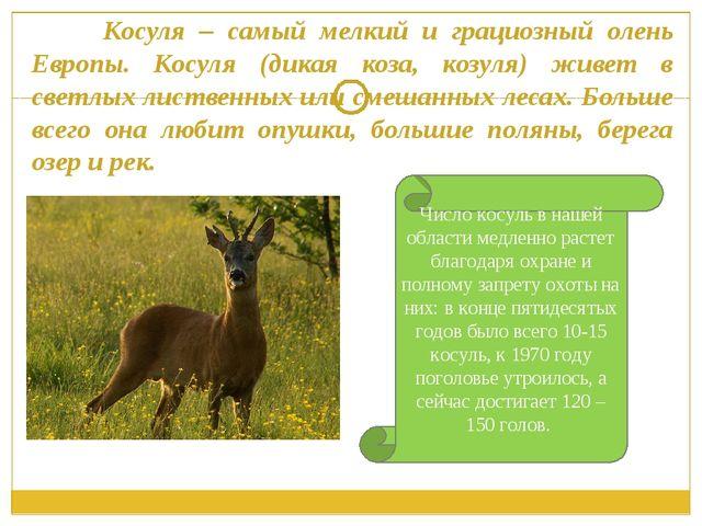 Косуля – самый мелкий и грациозный олень Европы. Косуля (дикая коза, козуля)...