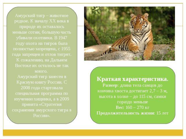 Амурский тигр – животное редкое. К началу ХХ века в природе их оставалось мен...