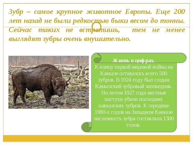 Зубр – самое крупное животное Европы. Еще 200 лет назад не были редкостью бык...