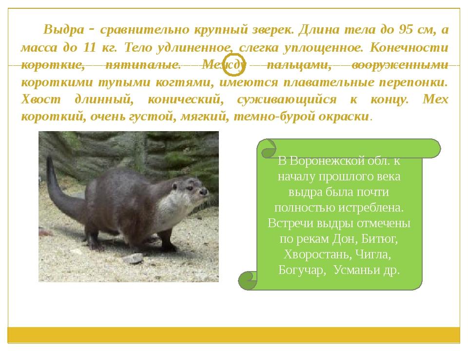 Выдра - сравнительно крупный зверек. Длина тела до 95 см, а масса до 11 кг....
