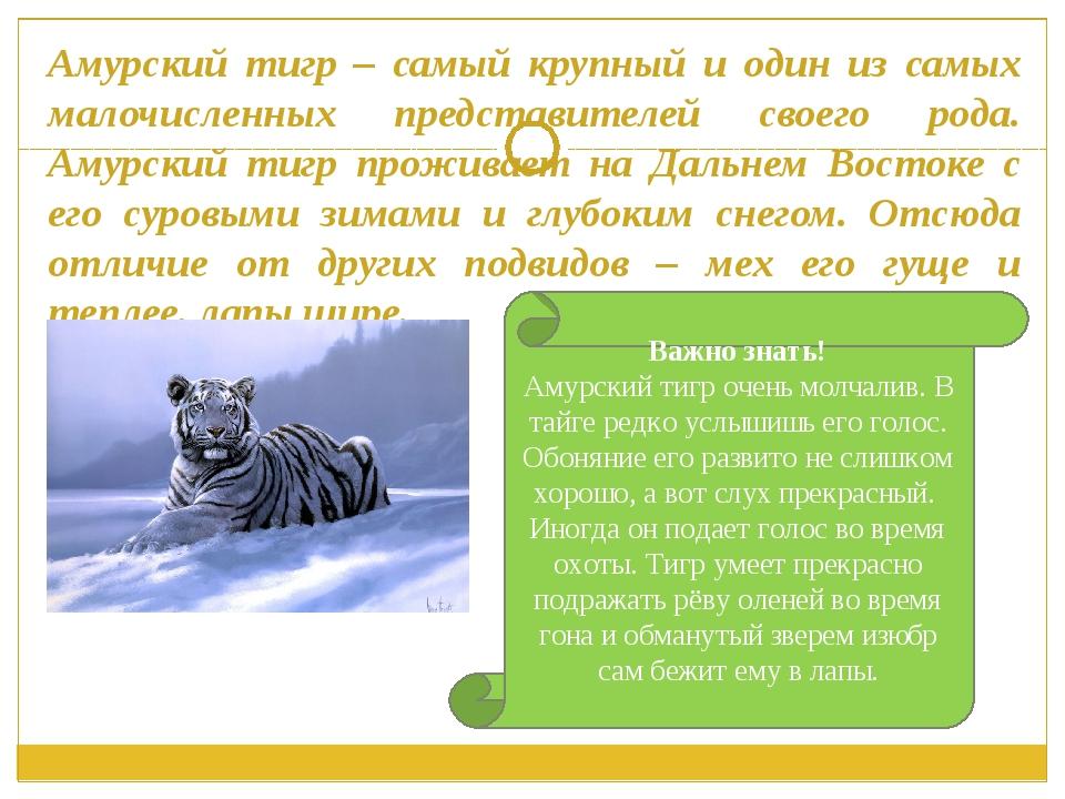 Амурский тигр – самый крупный и один из самых малочисленных представителей св...