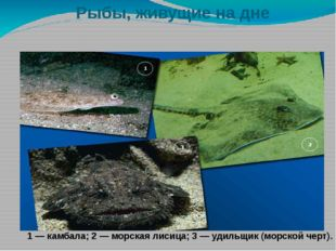 Рыбы, живущие на дне 1 — камбала; 2 — морская лисица; 3 — удильщик (морской