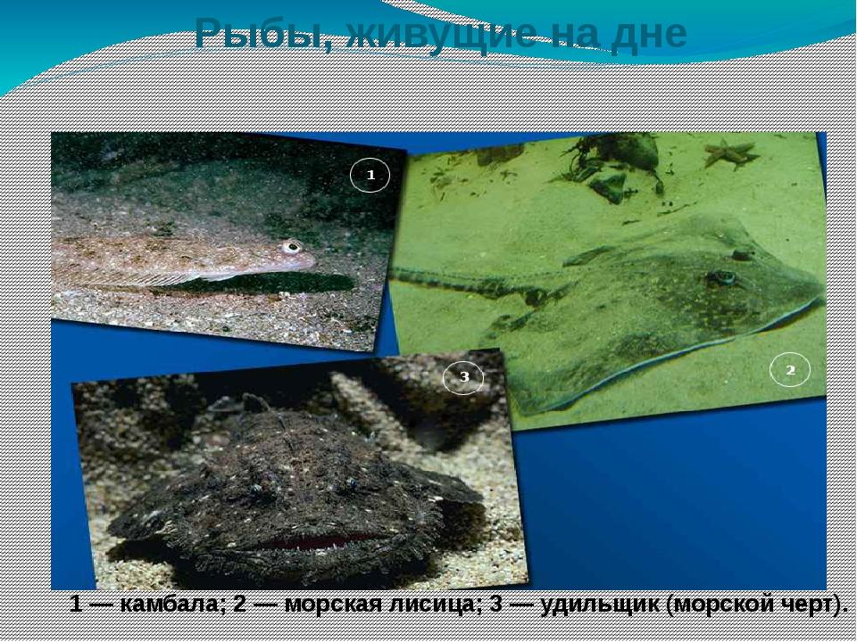 Рыбы, живущие на дне 1 — камбала; 2 — морская лисица; 3 — удильщик (морской...