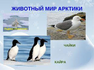 ЖИВОТНЫЙ МИР АРКТИКИ Льдина «Зоологов» ЧАЙКИ КАЙРА