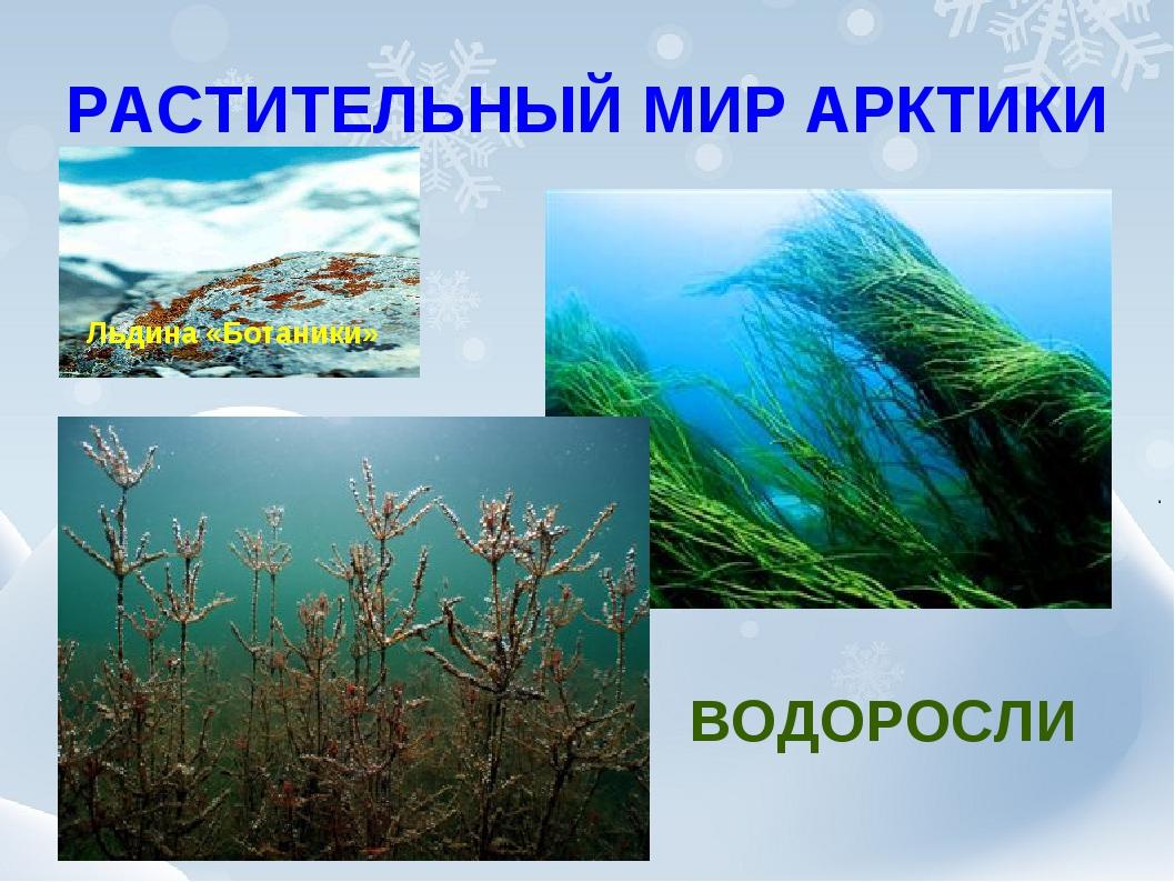 РАСТИТЕЛЬНЫЙ МИР АРКТИКИ ВОДОРОСЛИ Льдина «Ботаники»