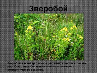 Зверобой, как лекарственное растение, известен с давних пор. Отвар зверобоя и