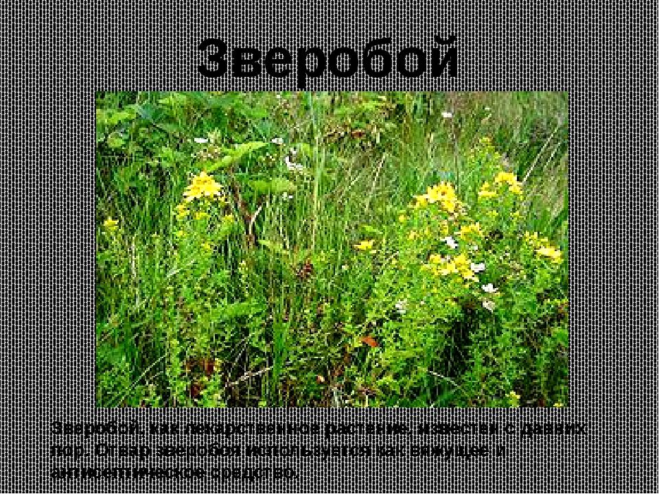 Зверобой, как лекарственное растение, известен с давних пор. Отвар зверобоя и...